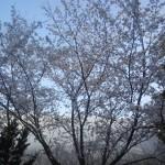 MAT の桜
